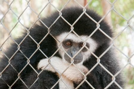 Gibbons in a cage photo