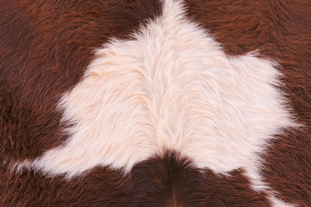Cowhide, cow skin close up