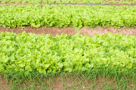 plot: Fresh green lettuce on vegetable plot.