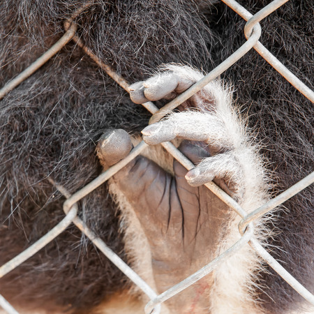 Sad gibbon behind the Cage Gibbon hands photo