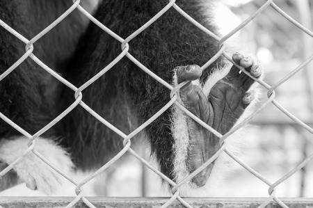 Black and white, Sad gibbon behind the Cage Gibbon hands photo