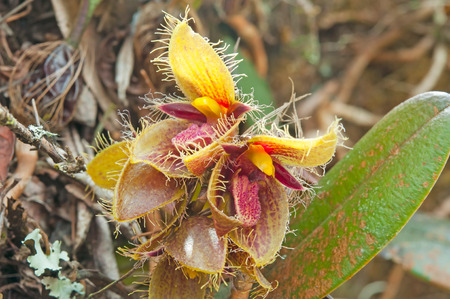 thou: Forest orchid flowers in Phuluang Wildlife Sanctuary at Loei, Thailand (Bulbophyllum dayanum Rchb. f.)