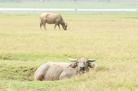 Water buffalo photo