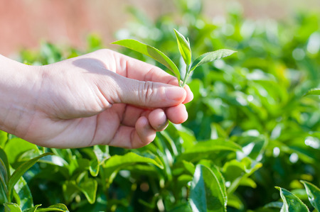 plucking: A hand plucking tea leaf Stock Photo