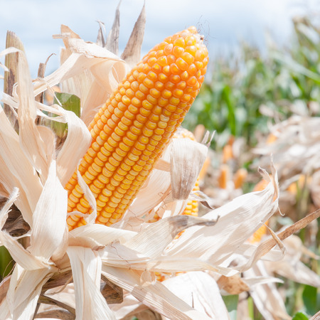 mais: Corn on the stalk in the field Stock Photo