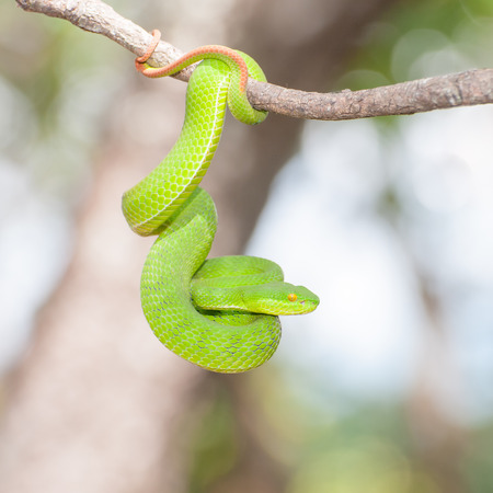 snake bite: Ekiiwhagahmg snakes (snakes green) in the forests of Thailand