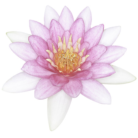 Pink lotus isolated with clipping path photo