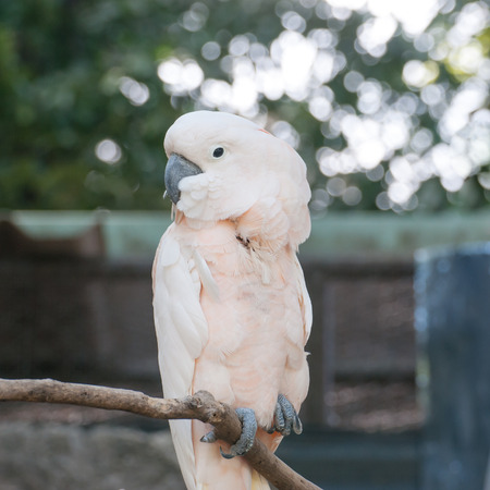 White parrot sitting on a branch photo