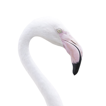 Head flamingo isolated on white background with clipping path. photo