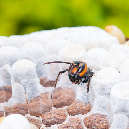 immunological: paper wasp Stock Photo