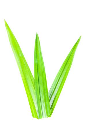 tectorius: Fresh Pandan leaves on white background