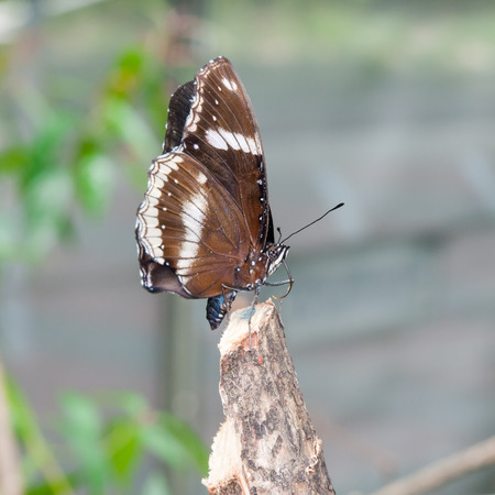 admiral: White Admiral (Limenitis camilla), brown Butterfly Stock Photo