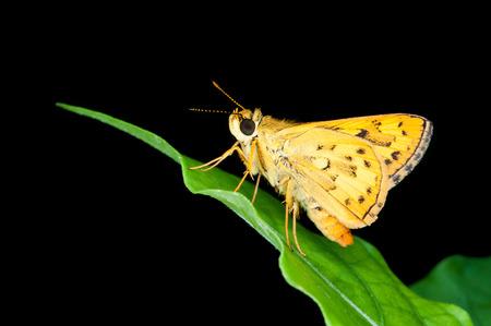 confucian: Butterfly, Confucian Dart