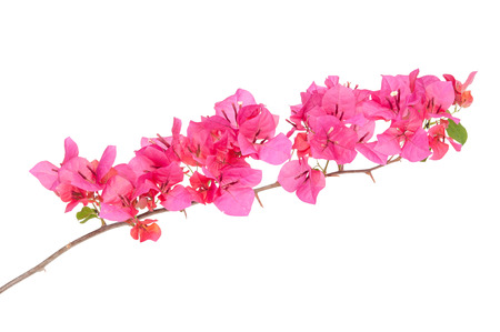 bougainvilleas: Pink blooming bougainvilleas isolate on white background
