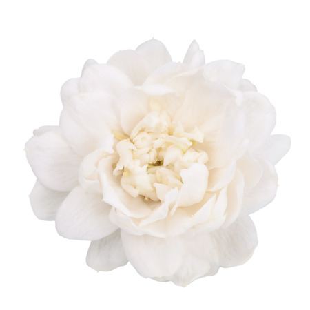 Jasmine flower isolated with clipping path.