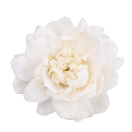 jasmine: Jasmine flower isolated with clipping path.
