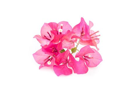 rhodes: Pink blooming bougainvilleas
