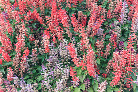 angiosperms: Salvia splendens (Scarlet Sage or Tropical Sage) Stock Photo