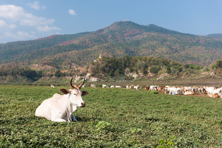 isaan: Cow on field
