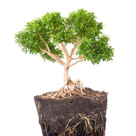 bonsai tree: Bonsai tree on white background.