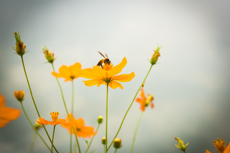 Honey bee with cosmos flower. photo