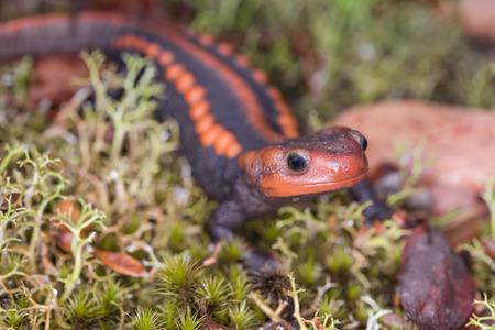 newt: Salamander (Himalayan Newt) found in Phuluang Wildlife Sanctuary at Loei, Thailand. Stock Photo