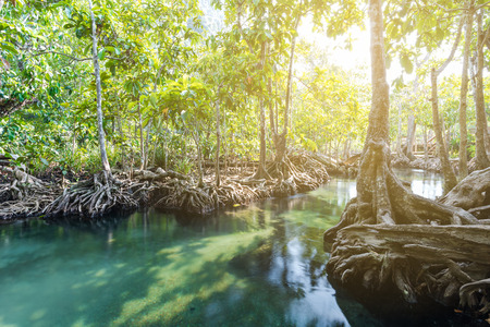 pom: Mangrove trees in a peat swamp forest. Tha Pom canal area Krabi province Thailand