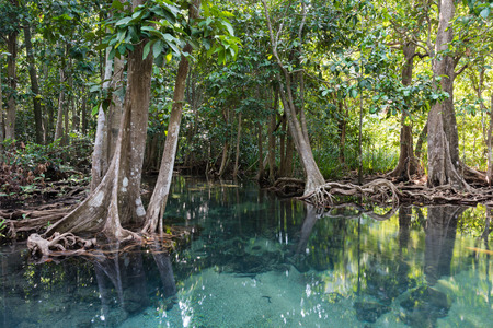 Mangrove trees in a peat swamp forest. Tha Pom canal area, Krabi province, Thailand photo