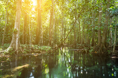 th�?¨: �rboles de mangle en un bosque del pantano de turba. Zona del canal de Tha Pom, provincia de Krabi, Tailandia Foto de archivo