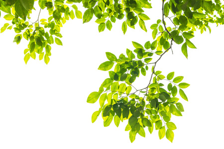 白い背景に分離された緑の葉