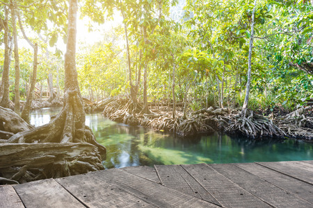 pom: Mangrove trees in a peat swamp forest. Tha Pom canal area, Krabi province, Thailand