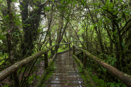 primeval forest: Moss forest, passage in the primeval forest in Doi inthanon Chiang Mai, Thailand.