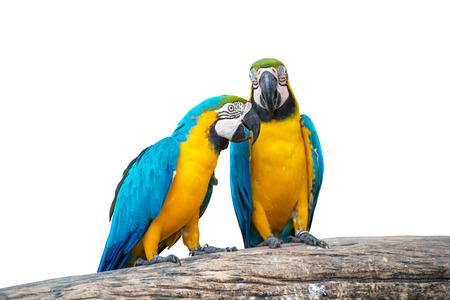 cotorra: aves loro aisladas sobre fondo blanco Foto de archivo