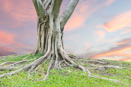 Roots of a tree and green grass with sunset sky background.