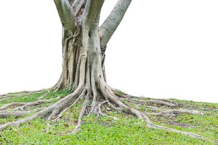 trunk: Raíces de un árbol aislado en el fondo blanco. Esto ha trazado de recorte. Foto de archivo