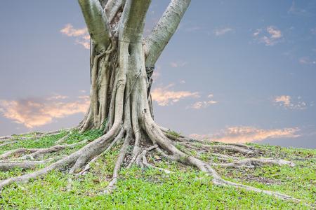 arbol raices: Raíces de un árbol y la hierba verde con el fondo del cielo del atardecer.