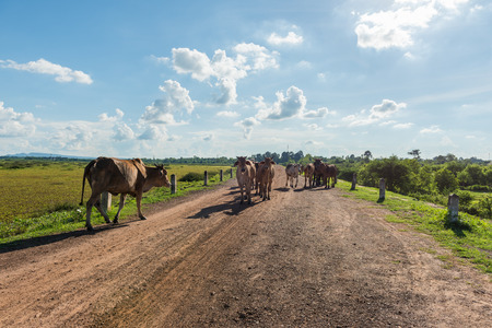 isaan: Cows on rural road at afternoon Stock Photo