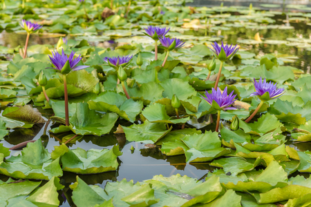 swamps: Scenic of lotus in swamps
