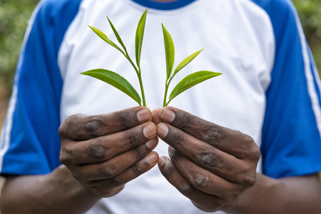 Fresh tea leafs in man's hand, at tea garden 写真素材
