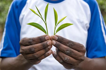 Fresh tea leafs in man's hand, at tea garden Standard-Bild