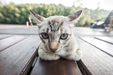 grey eyed: Grey cat lying on wooden floor Stock Photo