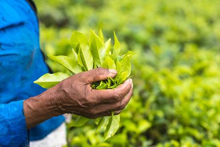 Fresh tea leafs in womans hand, at tea garden