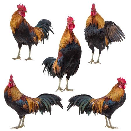 닭, 수탉은 수탉의 컬렉션 집합 흰색으로 격리