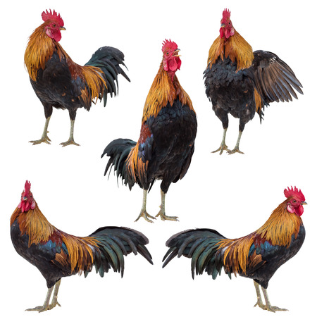 Rooster, Cock, Rooster collection set isolated on white Standard-Bild