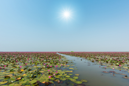 unseen: Beautiful Lotus at Sea of pink lotus, Udon Thani, Thailand (unseen in Thailand)