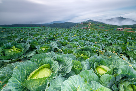 Cabbage field with storm is coming in Thailand