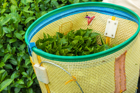 green tea in basket at plantation Stock Photo