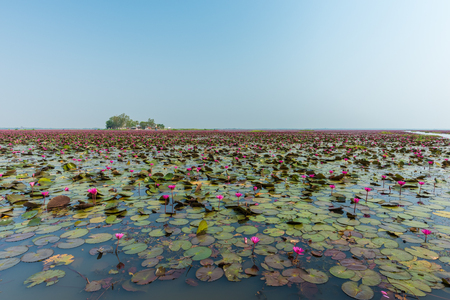 unseen: Beautiful Lotus at Sea of pink lotus at Udon Thani in Thailand (unseen in Thailand)