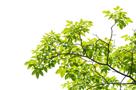 Green leaves isolated on white background, This has clipping path.