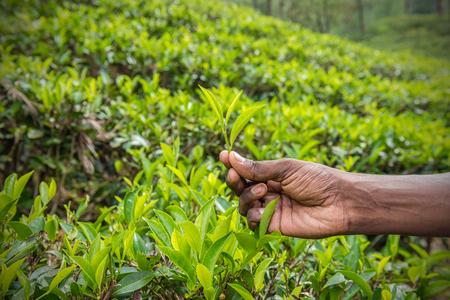fairtrade: Fresh tea leafs in mans hand at tea garden